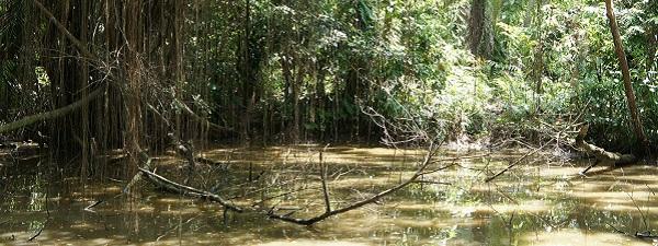 Pulau Ubin mangroves
